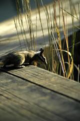 Chipmunk, Sequoia National Park, CA (flyingibis) Tags: