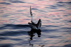 the gulp (iNgage) Tags: ocean california pink blue bird water northerncalifornia neck monterey humboldt wings eating floating pelican gage gulp garberville sheltercove redway nataliegage