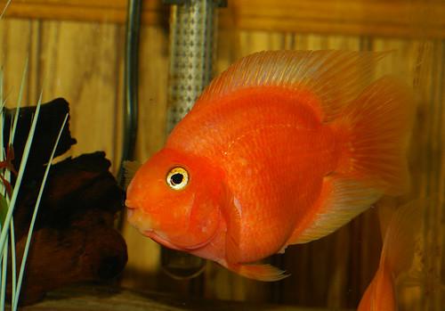 Juliet, my blood red parrot cichlid