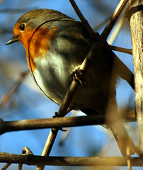 The Christmas Robin...:O) (law_keven) Tags: life park christmas england bird london nature robin birds animal feathers bluesky aves holborn oiseau avian vie rougegorge feathery redbreast robinredbreast cielbleu featheryfriday explore500 lincolninnfields