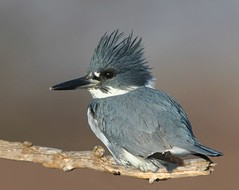 Belted Kingfisher (male) (Hard-Rain) Tags: fish bird nature illinois bravo wildlife aves catfish prey predator plainfield beltedkingfisher naturesfinest alcedinidae dupageriver flickrsbest coraciiformes megaceryle specanimal anawesomeshot megacerylealcyon avianexcellence cerylinae