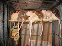 Pile of Rats (worldchampscwsox) Tags: bird animal rats petrat cutepets fancyrats smallfury shotbybird worldchampscwsox