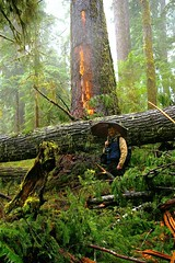 Quinault blowdown and scar it caused - see hiker for scale