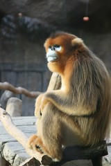 Golden Monkey from China,    (Ekaterry) Tags: china canon eos monkey everland   goldenmonkey  400d haegeunjee