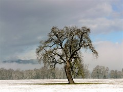 Valley Oak Tree in Snow (judi berdis) Tags: snow tree oak nca willits littlelakevalley mendocinoco