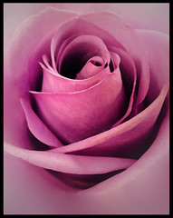 Purple passion (Amy V. Miller) Tags: macro rose petals purple blueribbonwinner flowerotica platinumphoto diamondclassphotographer excellentphotographersaward flowererotica platinumphotography flcikrsexquisiteshots excellenceinflralphotography