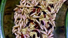 Maggots, London Zoo, London.JPG