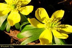 Wiosna. (Elisabeth Gaj) Tags: flowers macro nature yellow spring ngc natur yellowflowers kwiaty elisabethgaj diamondclassphotographer flickrdiamond 100commentgroup mimarnflowers