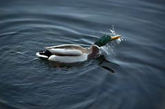 brr, it's wet! (olszuffka) Tags: france wet water duck evianlesbains