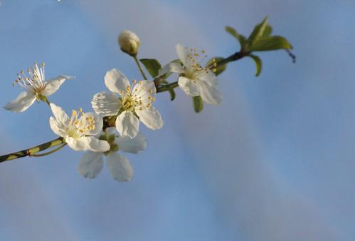 Prunus cerasiferus - Kerspruim