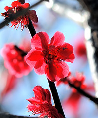 Transparent red (shinichiro*) Tags: flower japan nikon getty 2008 crazyshin d3 aroundhome abigfave  llovemypic makroplanart1002zf exp28732view5fave3g 2009separt04 gettyng