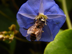 Bee on a flower (abhinav_natarajan) Tags: flower macro up close small bee bluebell
