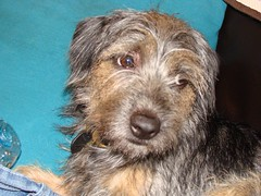 Randoms 059 (Paula Sequeira) Tags: borderterrier