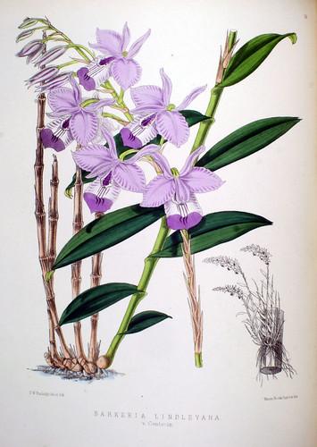 Barkeria lindleyana var. centeriae