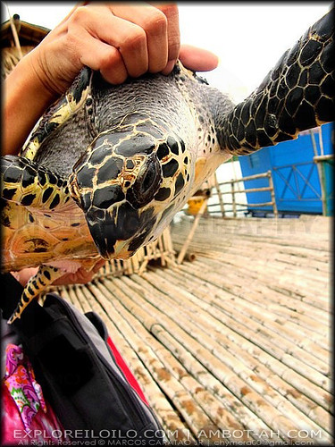 One of the turtles in Turtle Island