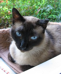 IMG_3489 (knittykat83) Tags: cat siamese ophelia