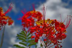 (oybay©) Tags: blue red arizona orange flores flower macro fleur flora bokeh blumen fiori mexicanbirdofparadise floresbugambiliasveraneras