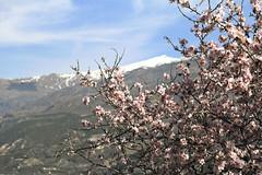 El Caballo (Micheo) Tags: granada spain almendro almondtree almondblossoms valledelecrín primavera springtime mirador vistas views sierranevada elcaballo