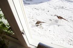 (Beathe) Tags: sando home fasaner pheasants fasan pheasant sunflowerseeds img0923