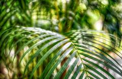 fern full of bokeh (kderricotte) Tags: helios44m458mmf2 bokeh depthoffield fern plant outside outdoor leaf sonya6000 sarasotajunglegardens florida sarasota