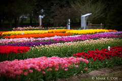 Tulip Fields (mctuba) Tags: flower nature field colorful tulip