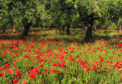 Papaveri - Poppies (Angelo Bosco) Tags: flowers red green field poppies papaveri mygearandme mygearandmepremium mygearandmebronze