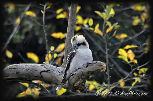 149-365 Kookaburra in the Autumn