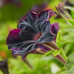 Black Velvet Petunia (ChristopherLeeHewitt (Away)) Tags: plants black flower macro nature square bokeh ngc naturallight npc bloom petunia excellence ef100mmf28lmacrois