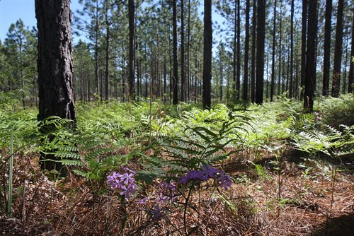 Wildflowers and legumes compose the understory of the longleaf pine ecosystem. These plants provide ample food for the diverse wildlife.