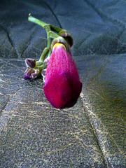(Luis Diaz Devesa) Tags: red españa flower sexy naked gris experiments spain rojo europa europe erotic nu flor galicia galiza gra pontevedra experimento desnudo erotique erotico 色情 vilagarciadearousa エロ ヌード villagarciadearosa experime 裸體, luisdiazdevesa 、セクシー、