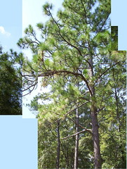A longleaf pine on Quarterman Road.