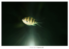 Untitled fish ,, (Nasser Bouhadoud) Tags: old trip fish water canon mall thailand eos 350d shot bangkok under 2006 pure siam untitled nasser paragon saher ناصر بانكوك allil saherallil تايلاند بوحدود