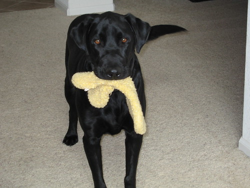black labrador retriever - Deuce