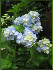 Bud Clusters of Hydrangea 'Endless Summer', shot September 24, 2007