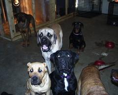 So cute! (muslovedogs) Tags: treats mastiff rottweiler maggie sage napoleon playtime rex excalibur canecorso mastweiler