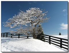 Snowy Branches (Lisa-S) Tags: blue winter sky snow ontario canada tree fence landscape lisas explore allrightsreserved invited themoulinrouge caledon blueribbonwinner interestingness324 i500 5188 flickrsbest mywinners platinumphoto anawesomeshot infinestyle gardenofzen thegoldendreams getty2009 escarpmentsideroad copyrightlisastokes getty20091008