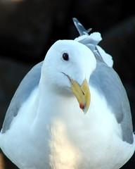 Huh! (Dean Martin (Thirdeyepics)) Tags: sea wild white bird animal animals set wildlife seagull gull beak feathers alive mammals simplyred naturewatcher simplyred4x4