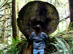 Chad with Giant Ceder (chad sawyer) Tags: trees tree rain giant forrest driftwood quinault ceder