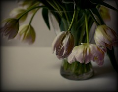 white and snowy scents (hanna.bi) Tags: pink flowers stilllife white snow poetry poem tulips vase bouquet wallacestevens cinematicorchestra passionphotography 25faves aurelioasiain ionushi superbmasterpiece adoublefave thepoemsofourclimate margendelyodo