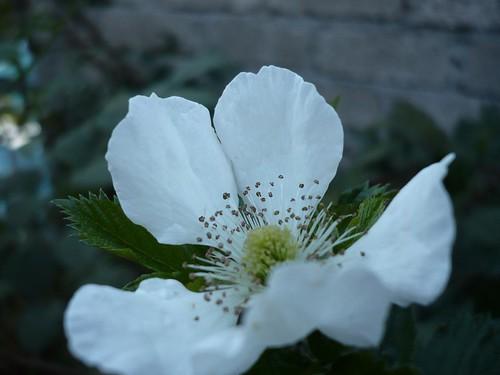 flor D zarzamora