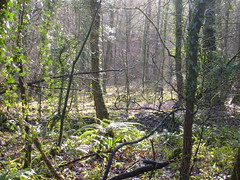 green woods (dandavie) Tags: morning trees mist fern leaves forest moss woods ivy jungle greenery ashtoncourt