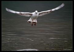 Oiseau fou (Olivier Rapin) Tags: suisse oiseau olivier flou rapin olivierrapin httpolivierrapinolitanch