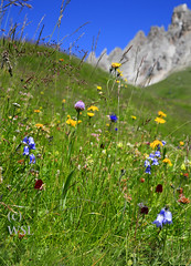 botanical treasures in a stunning landscape (Dichtung & Wahrheit (Poetry and Truth)) Tags: travel flowers blue sky sun mountain snow alps color green nature landscape rocks heaven orchids hiking meadow alp dolomites italiy theoutlook dichtungwahrheit whenheavenkissesearth botanicalrarity mysticoflight alpinewonderland