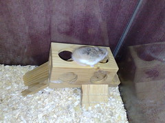 28/01/2008 (clnock) Tags: hamsters