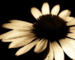 | C o n e F l o w e r | ( toma ) Tags: blackandwhite bw flower macro sepia canon vintage petals blogged coneflower eos10d orton themoulinrouge toma01 thegardenofzen thegoldendreams