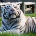 Tiger Jowls