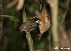 Black-cheeked Gnateater_Conopophaga melanops nigrifrons