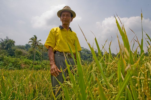 Cipto, rice farmer