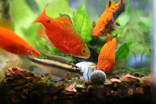 pets fish animals aquarium tank