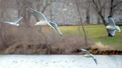 Gulls In Flight (NateFischPix) Tags: seagulls 3 nature birds inflight nathan wildlife gulls only invite comment fischer theunforgettablepictures nathanfischer natefischpix